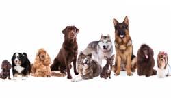 5 สาย พันธ์ุสุนัข ที่คนส่วนใหญ่นิยมเลี้ยงมากที่สุด