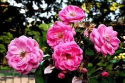 ประโยชน์ของดอก กุหลาบมอญ