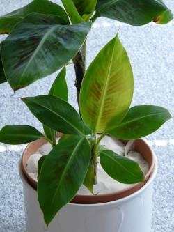 มารู้จัก กล้วยด่าง ต้นไม้ที่มีลวดลายสีสวยแปลกตา สร้างรายได้ได้ไม่เบา