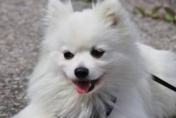 5 สุนัขพันธุ์เล็ก ที่เป็นสายพันธุ์ขนสีขาว น่ารัก น่าชัง เหมือนตุ๊กตาหิมะ!
