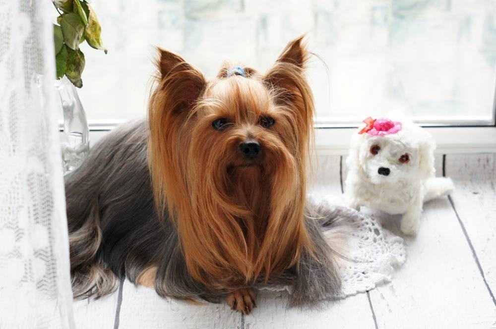 6 สุนัขพันธุ์เล็ก สุดน่ารัก เลี้ยงในบ้านหรือคอนโดได้อย่างชิวส์ ๆ