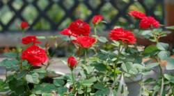 วิธีปลูกดอกกุหลาบ ดอกไม้สวยงาที่ใครๆก็ชอบ
