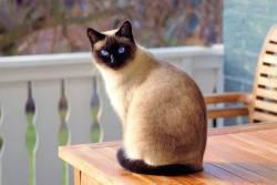 แมววิเชียรมาศ แมวไทยตามตำรับโบราณที่มีชื่อเสียงระดับโลก