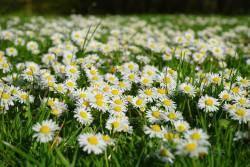 8 ไม้ดอกขนาดเล็ก ต้นเลื้อยคลุมดิน ทนแดด ปลูกทดแทนหญ้าได้