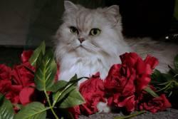 """เจาะลึก! แมวเปอร์เซีย สัตว์เลี้ยงสุดน่ารัก ถูกแต่งตั้งให้เป็น """"ราชินีแมว"""""""