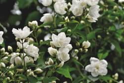 5 ต้นไม้จัดสวน ปลูกแล้วเป็นมงคล มีดอกหอมฟุ้งทั่วบ้านทั้งในกลางวันและกลางคืน